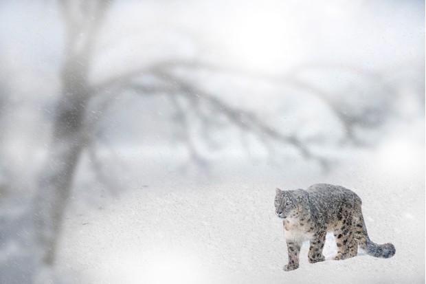 Wild snow leopard in a blizzard in Pakistan.