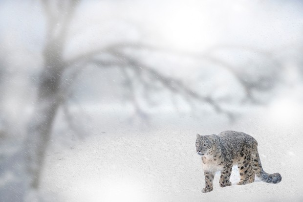Wild snow leopard in a blizzard in Pakistan.