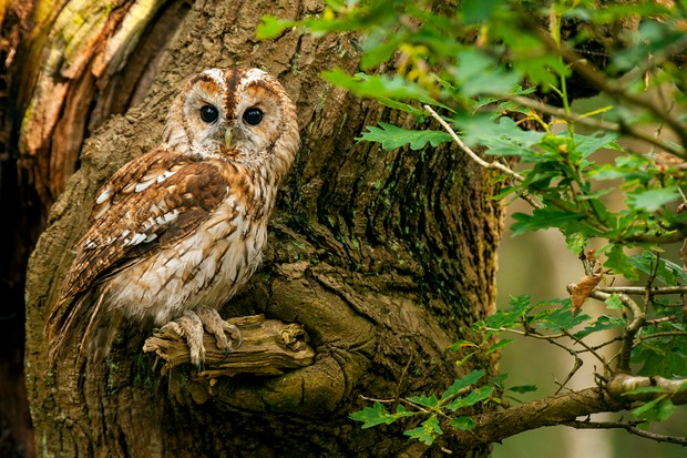 Tawny owl perching on branch during the day