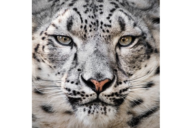 Portrait of a snow leopard's face with piercing eyes