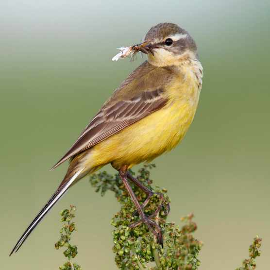 Western yellow wagtail (Motacilla flava) perched with prey, Strohauser Plate, Lower Saxony, Germany