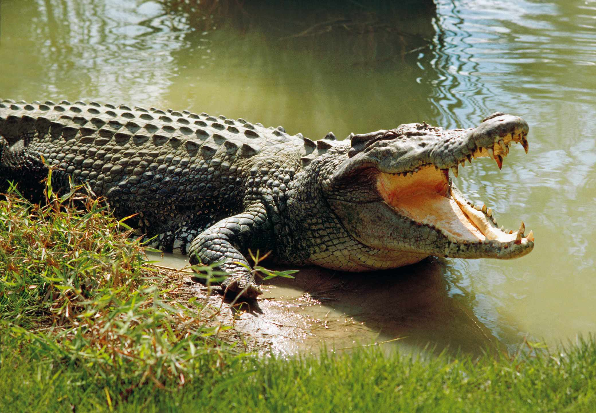 Saltwater crocodile (Crocodylus porosus) world's largest living reptile, cooling himself with open mouth, Darwin, Northern Territory, Australia. © Australian Scenics/Getty