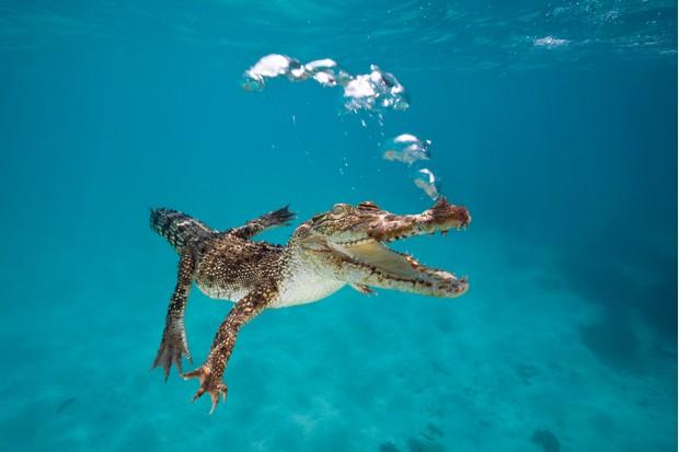 Saltwater crocodile (Crocodylus porosus) swimming in the open sea off Queensland, Australia