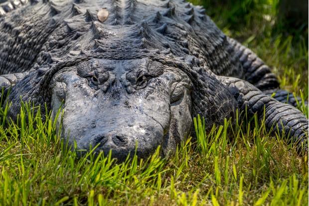 A large saltwater crocodile