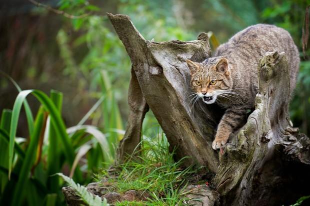 Scottish wildcat (Felix silvestris)