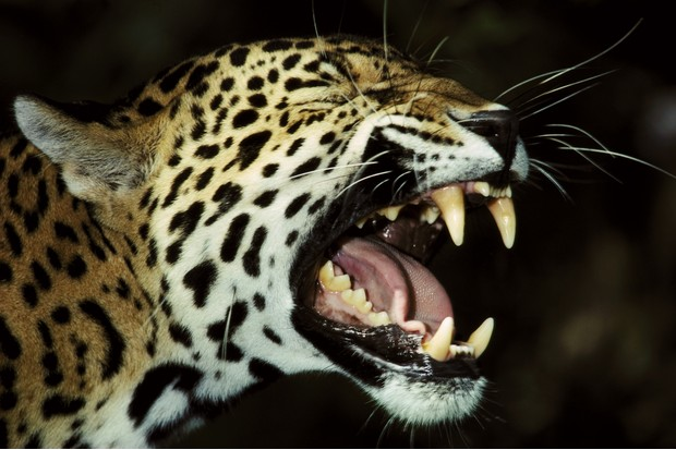 Jaguar with an open mouth showing its impressive canines and powerful jaws
