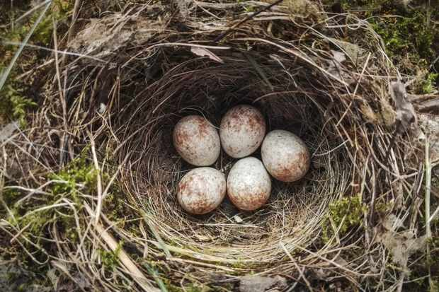 Robin nest with five eggs