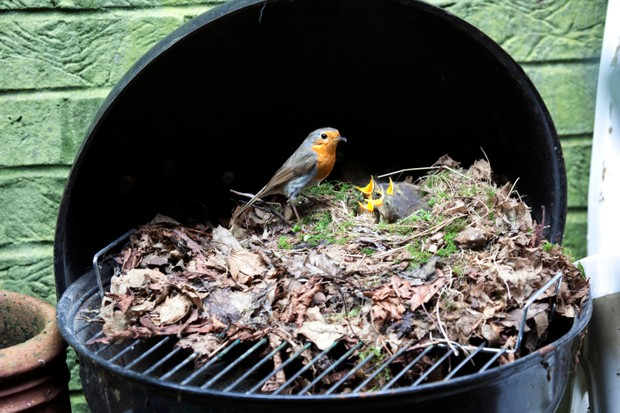 European Robin (Erithacus rubecula) at nest with chicks, in garden barbecue, Haddenham, Buckinghamshire, England, UK