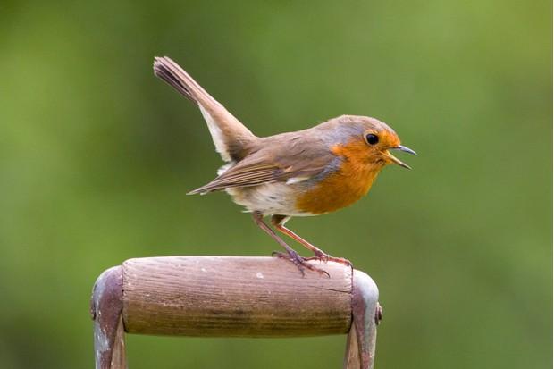 Robin on a garden spade.