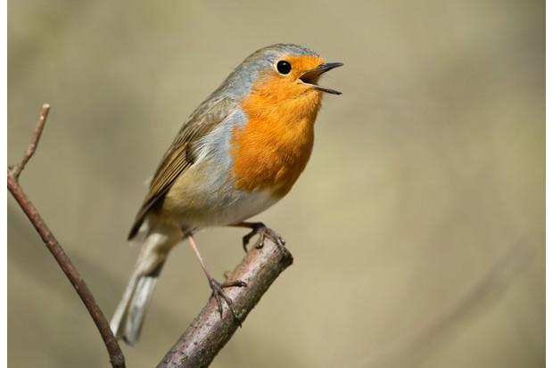 Singing European robin (Erithacus rubecula)