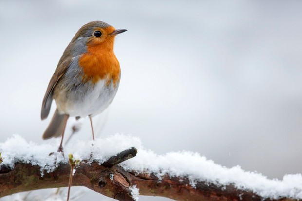 European robin (Erithacus rubecula) in the snow