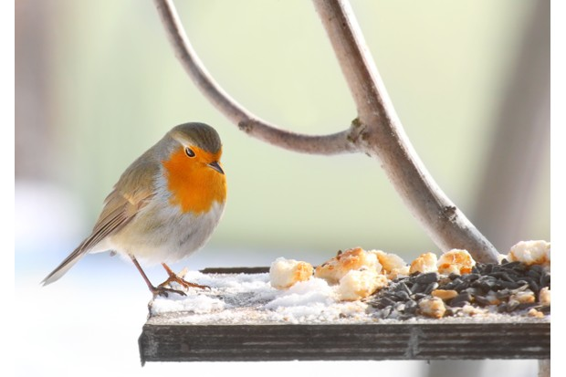 European Robin (Erithacus rubecula) on a bird table.