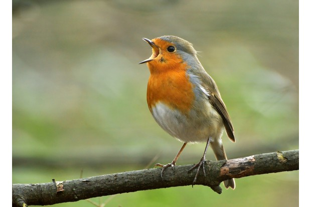 European Robin (Erithacus rubecula) singing from a perch