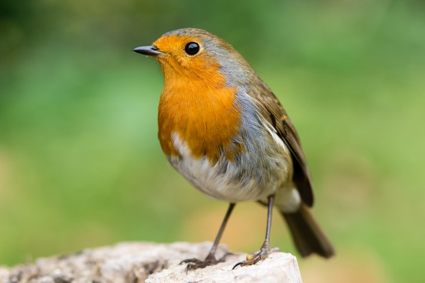 Everything You Need To Know About The Robin Facts About