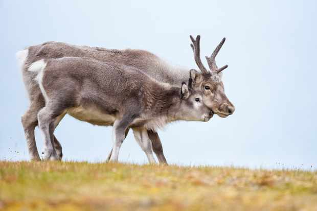Female reindeer with antlers, alongside her calf on Arctic tundra © Ken Canning / Getty