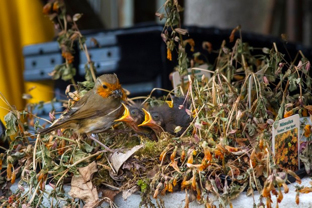 Robin feeding a nest of hungry chicks in a plant tray at a garden centre.