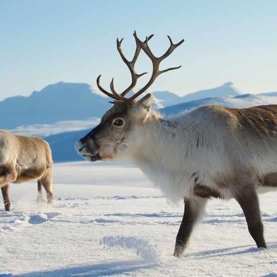Reindeer in natural environment, Tromso region, Northern Norway.