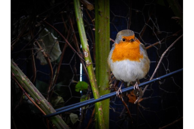 An urban robin perched on wire at night