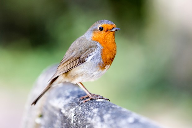 Robin perched on wooden bench in a British garden in spring