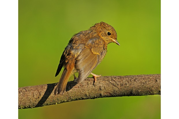 Juvenile robin fledgling (Erithacus rubecula) perched on a twig