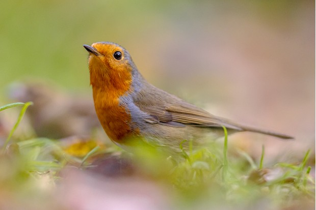 European robin on an autumnal garden lawn