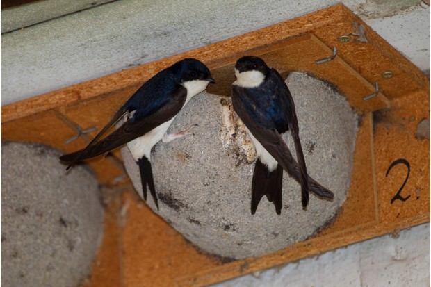 House Martins (Delichon urbicum), pair outside a nest box