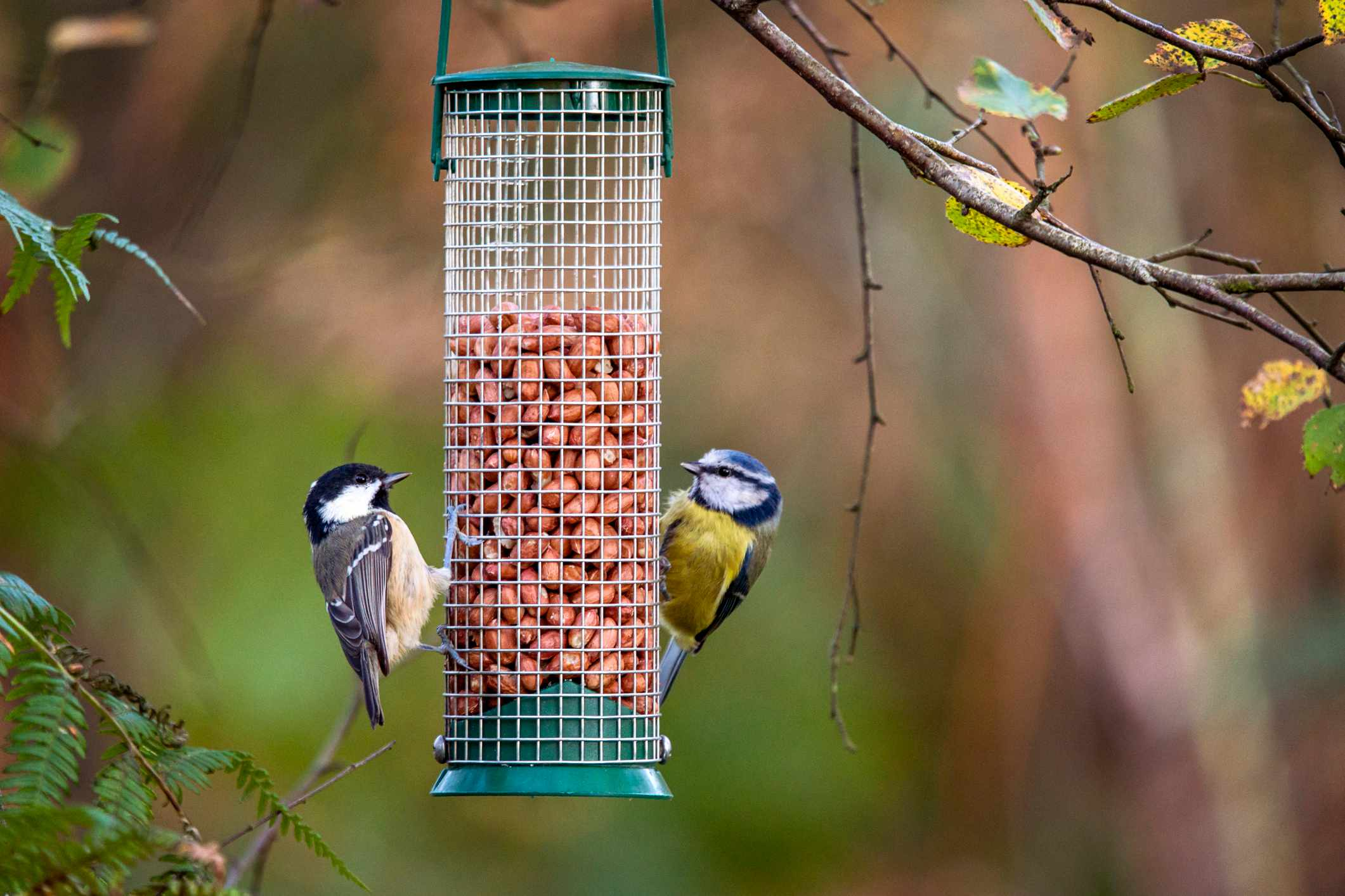 A coal tit and a blue tit feeding on peanuts either side of a hanging bird feeder, in Cumbria UK. © Fiona McAllister/Getty