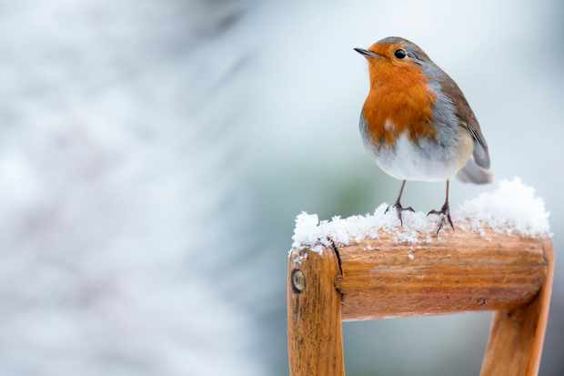 Robin on garden fork. © Andrew Howe/Getty