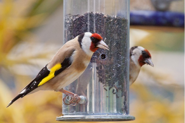 Goldfinches (Carduelis carduelis) eating niger seeds from a garden feeder.