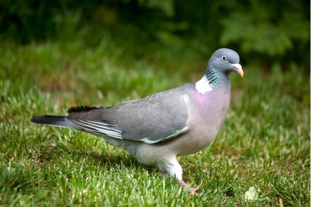 Common wood pigeon (Columba palumbus) on garden grass