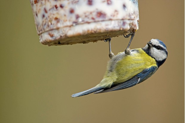 Blue tit (Cyanistes caeruleus / Parus caeruleus) at bird feeder eating fat mixed with seeds and nuts in winter
