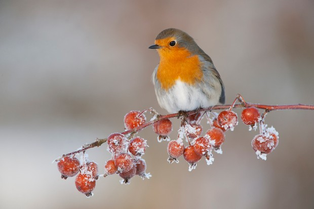 Robin (Erithacus rubecula) adult perched on crab apples in winter