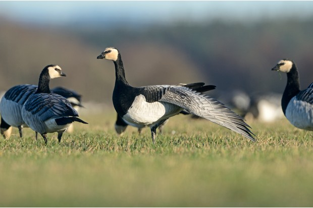 Barnacle geese (Branta leucopsis) feeding on grazing marshes, with one bird wing stretching, Caerlaverock WWT, Dumfries and Galloway, Scotland, UK, December