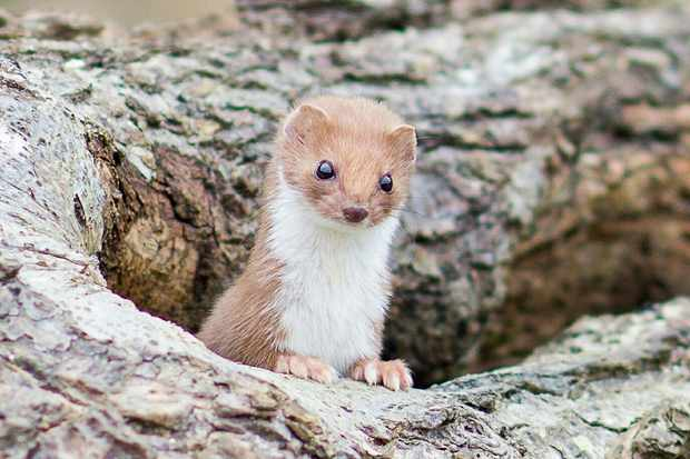 Weasel. © Miles Thorne/EyeEm/Getty