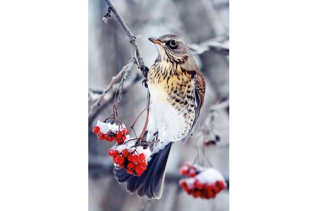 Fieldfare on snowy rowan tree
