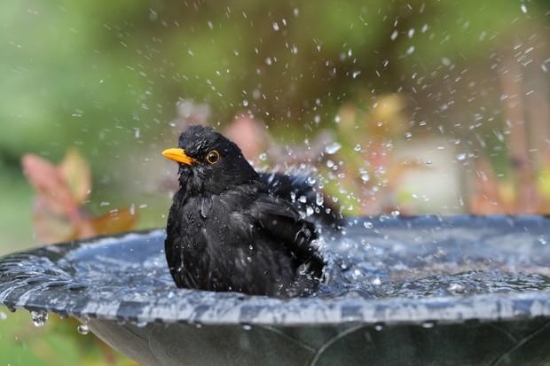 Blackbird (Turdus merula) having a bath