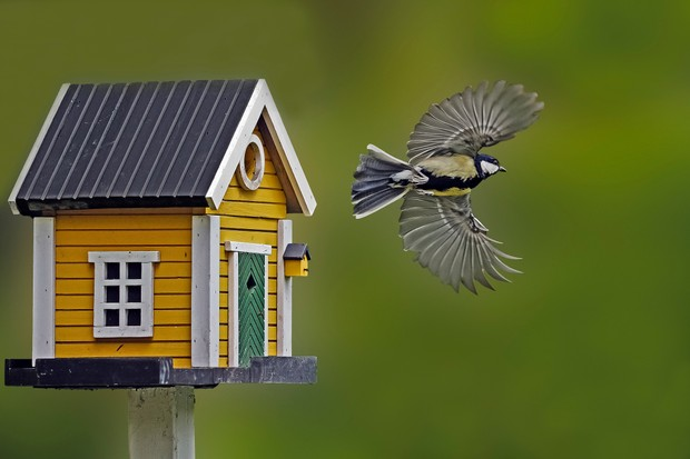 Great tit flying away from nest box that looks like a miniature house