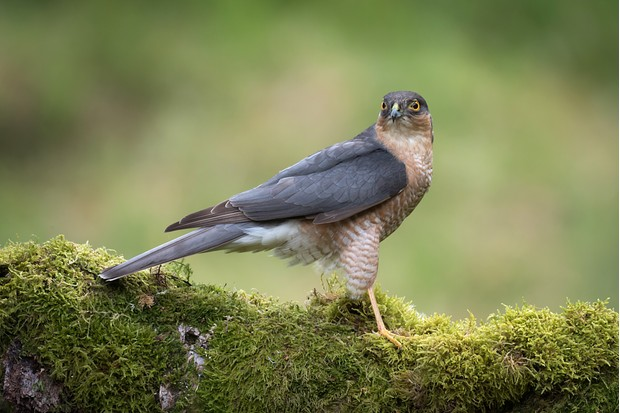 Male sparrowhawk (Accipiter nisus) on a mossy log