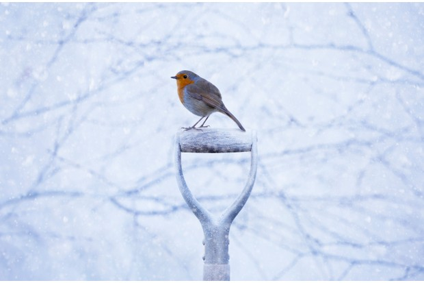 Robin Erithacus rubecula on a spade handle in the snow