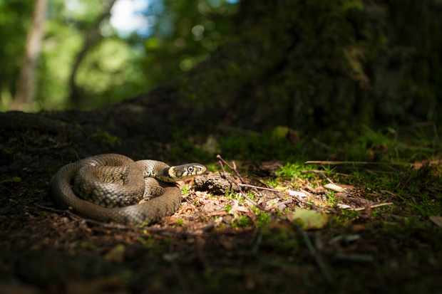 Grass snake on the woodland floor during the summer. © Jamie Hall/Getty