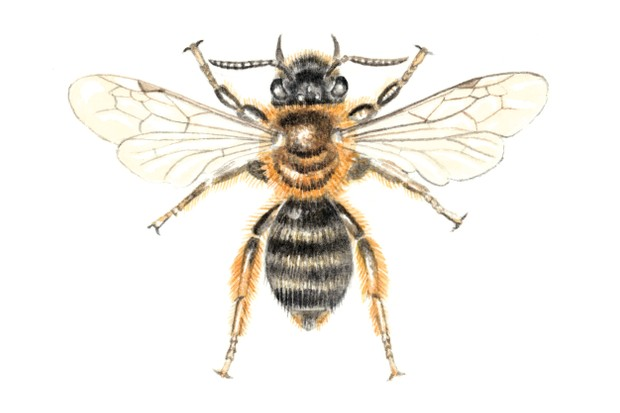 Andrena bicolor