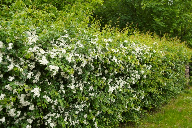 How To Identify Spring Hedgerow Species Discover Wildlife