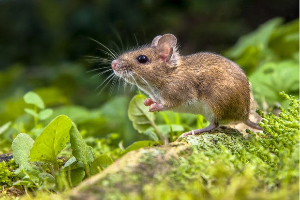 Wood mouse (Apodemus sylvaticus) on root of tree