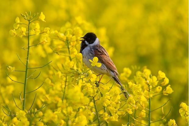 Male reed bunting (Emberiza schoeniclus) calling from flower in rape field in spring
