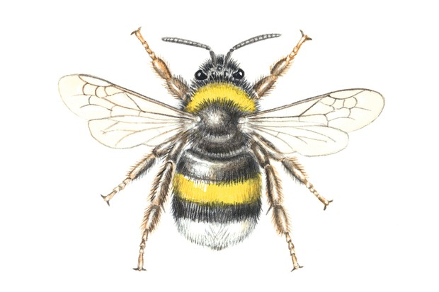 White tailed bumblebee, Bombus lucorum