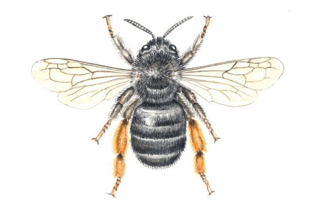 Feather footed flower bee - queen