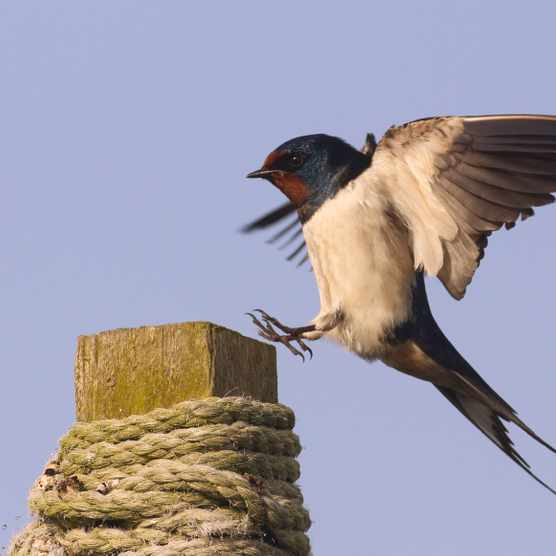 Do swallows return to the same nest? - Discover Wildlife