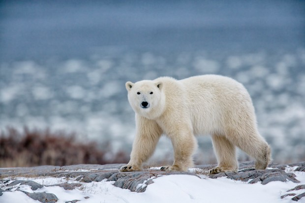 Polar bear, one of the world's most dangerous animals