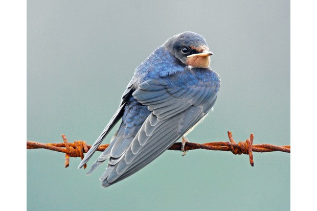 Barn swallow fledgling on rusty barbed wire. © Robert Trevis-Smith/Getty