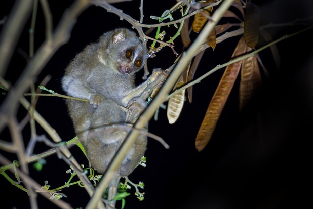 Nocturnal Slow loris in Thailand © kayjornyot / Getty